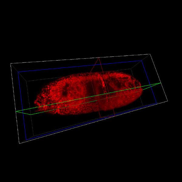 light sheet microscopy lsfm for large living samples