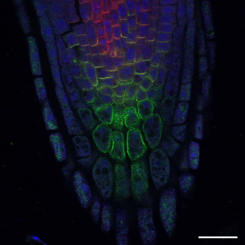 Plant root (<i>Arabidopsis thaliana</i>); PIN1 (red), PIN4 (green), DAPI (blue);   scale bar 20µm; Sample: courtesy of T. Pasternak, Institute of Biology, Albert Ludwigs University Freiburg, Germany