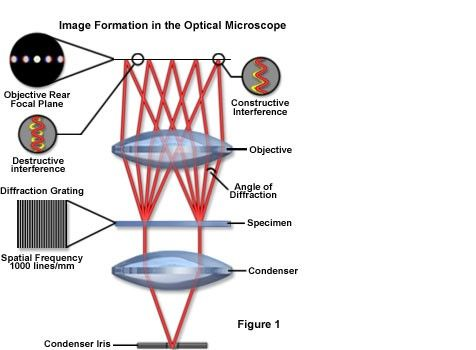 Image Formation in the Optical Microscope